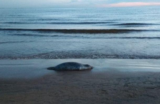 Мертвого тюленя нашли упансионата