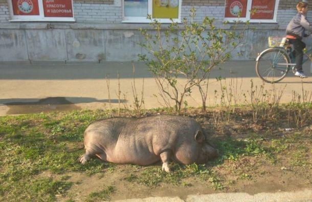 Свинья Варя задремала под кустиком наВасильевском острове