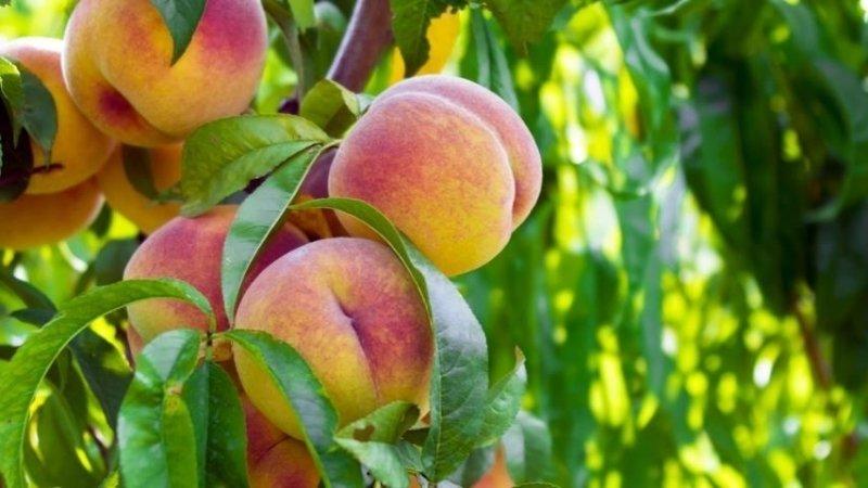 Запрет на ввоз плодов из Китая не повлияет на российский рынок