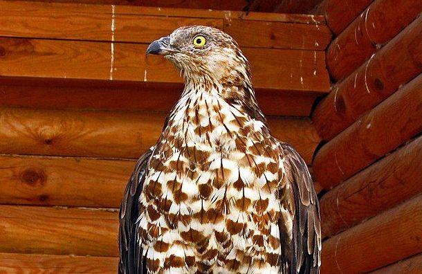 Найденная наМосковском проспекте хищная птица оказалась очень редкой