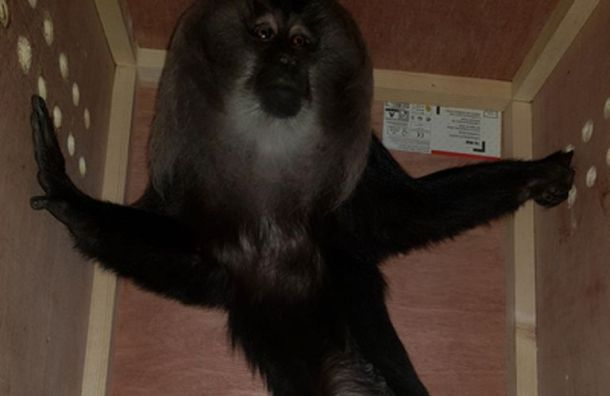 Львинохвостный макак прибыл в Петербург из Парижа