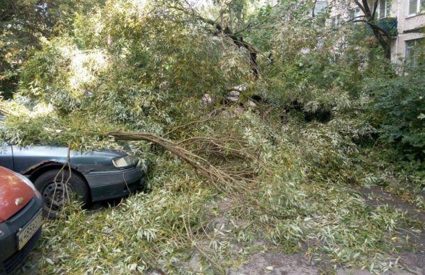 Сильный ветер повалил дерево надва автомобиля вКолпино